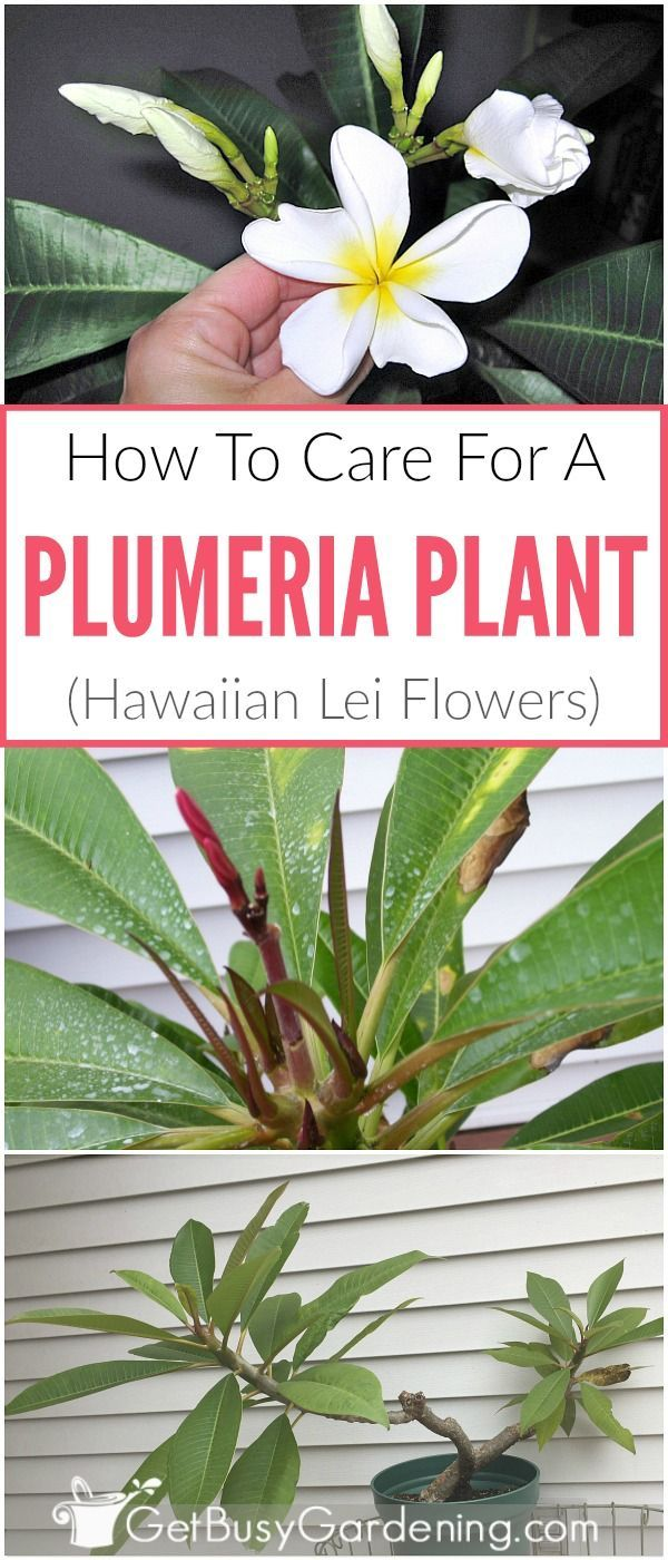 Plumeria plant care guide how to grow plumeria plants potting plumeria frangipani are the flowers used to make hawaiian leis and they are easy to izmirmasajfo