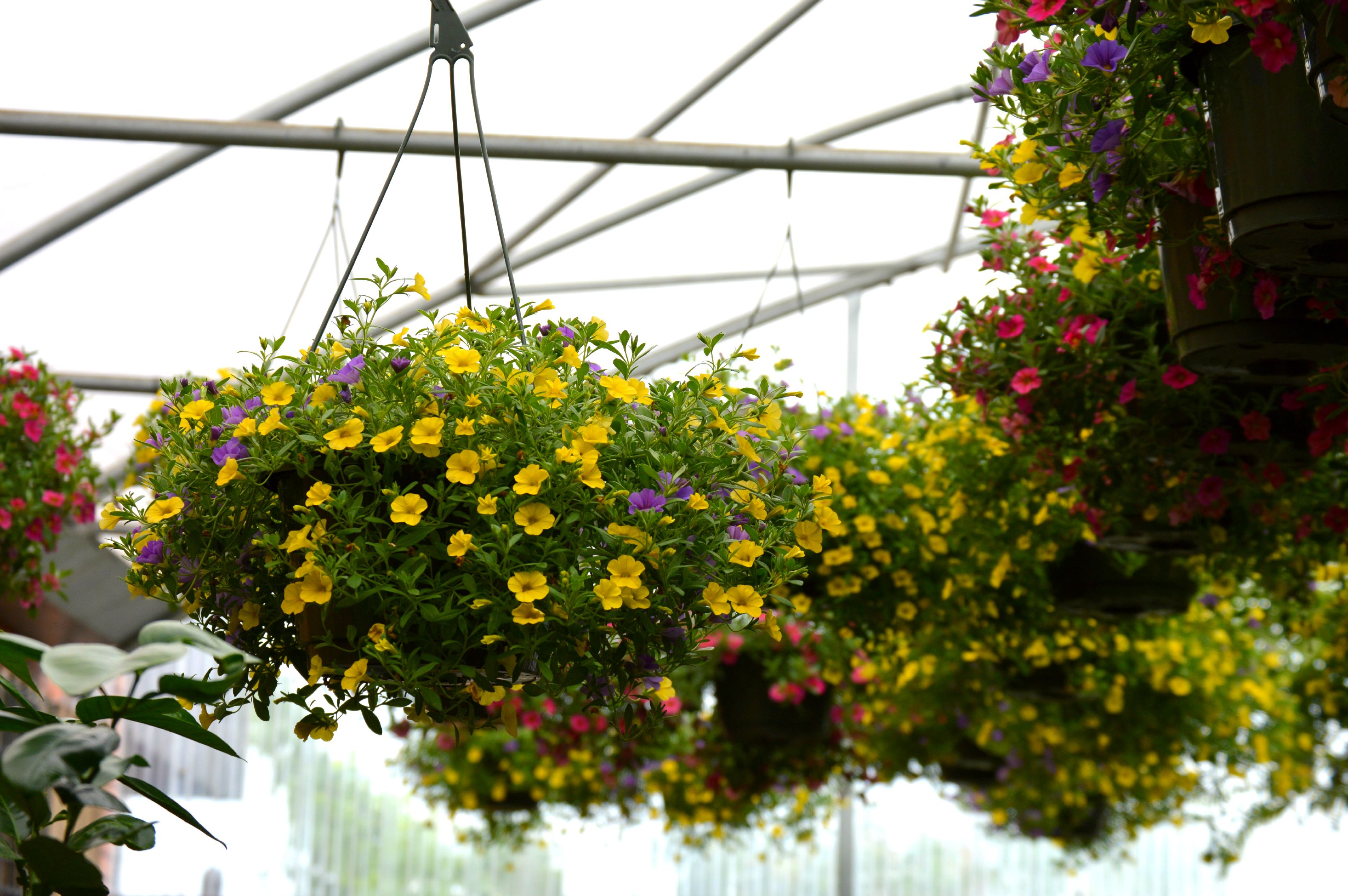 Hundreds Of Hanging Baskets Are Now Available At Ellis Home And Garden!