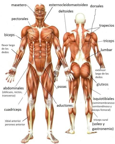 Musculos Del Cuerpo Humano Espanol E Ingles Musculos Del Cuerpo Humano Musculos Del Cuerpo Huesos Del Cuerpo Humano