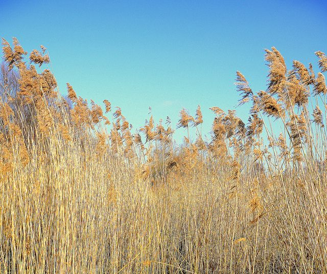 Bullrushes In A Canal
