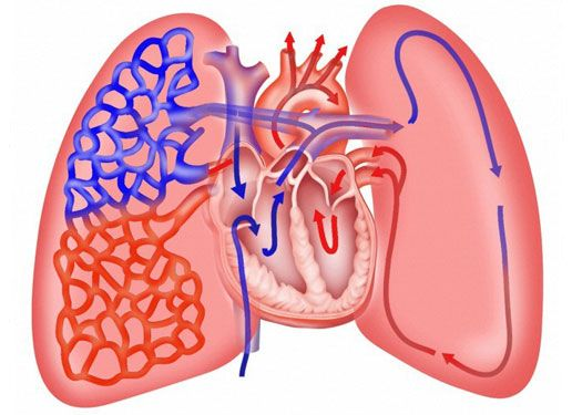 Great Image As It Shows How The Heart And Lungs Work Together