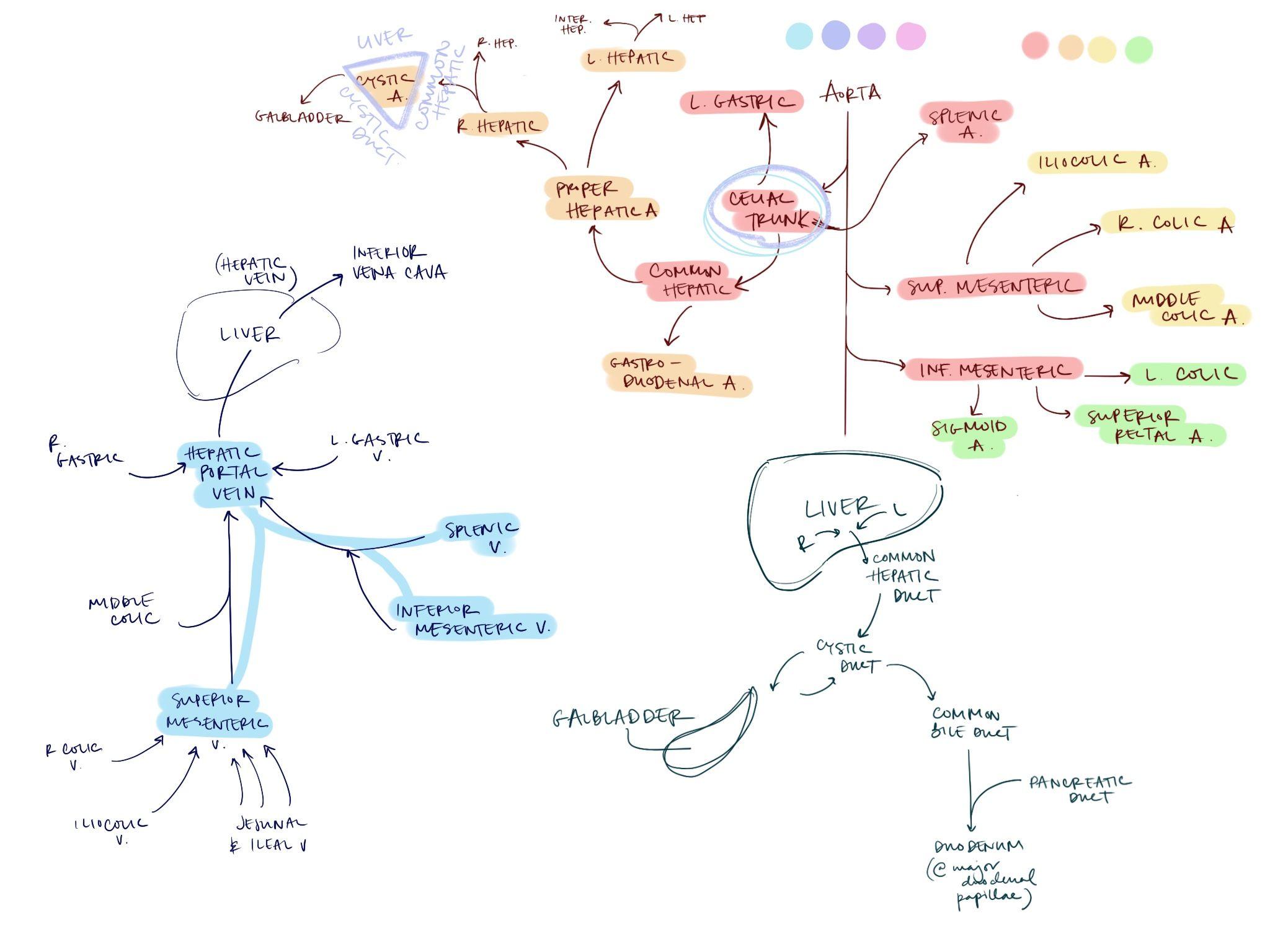 GI arteries, veins, bile • @a.kim_study | Arteries, Veins ...