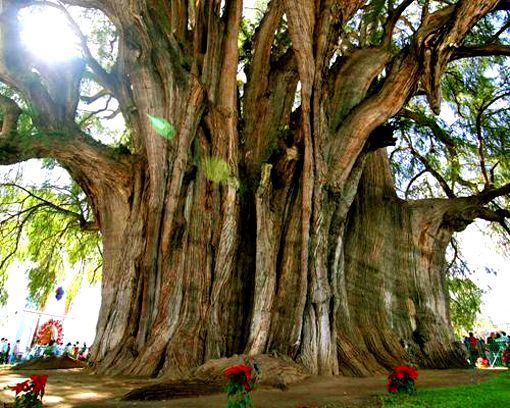 The Tree of Tule is a Montezuma Cypress on the grounds of a church in Santa María del Tule in Oaxaca, Mexico. It measures more than 119 feet around - but is only 116 feet high - and is 1,500-2,000 years old. wow.