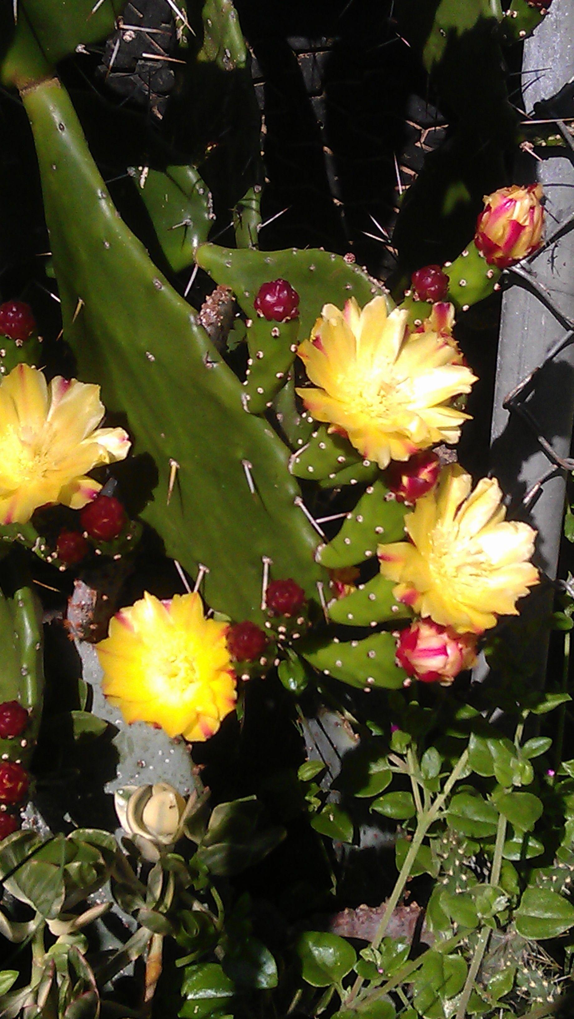 Yellow Cactus Flower Plants Around My House Pinterest Cactus