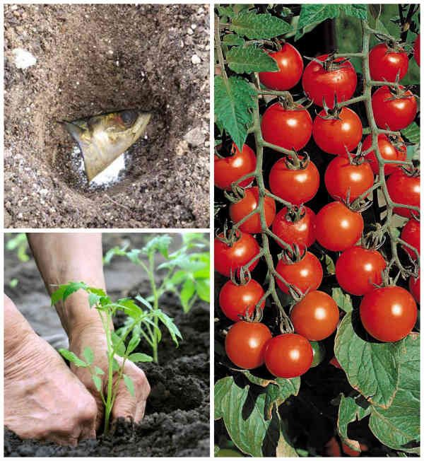 Plant Your Tomatoes This Way To Get A Bumper Crop With Images