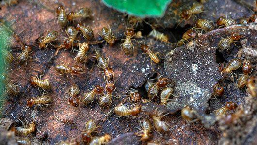 do you have flying ants or termites pest information flying rh pinterest com