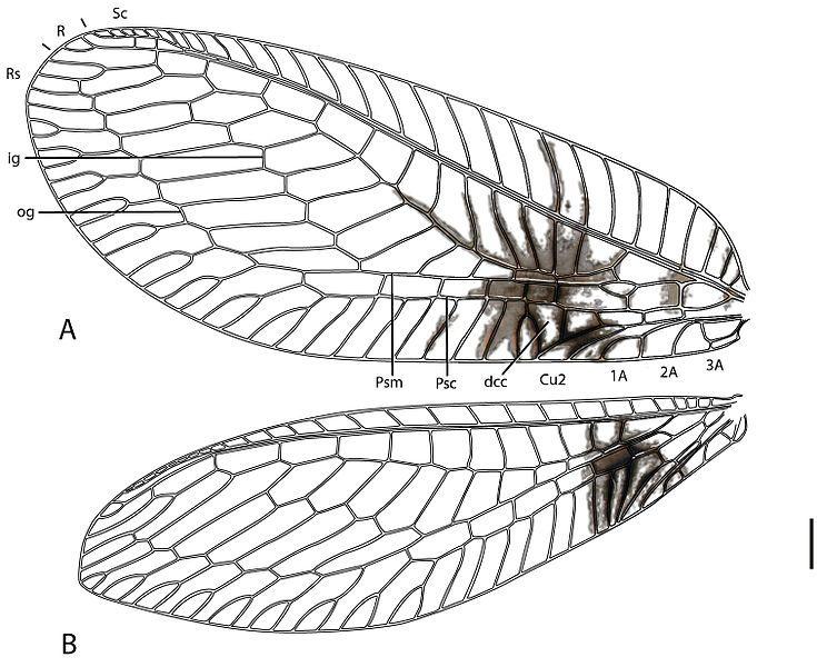 Una nueva especie animal descubierta en...Internet  El entomólogo Shaun L. Winterton estaba observando fotografías de insectos en Internet en mayo de 2011 cuando una de ellas llamó su atención.