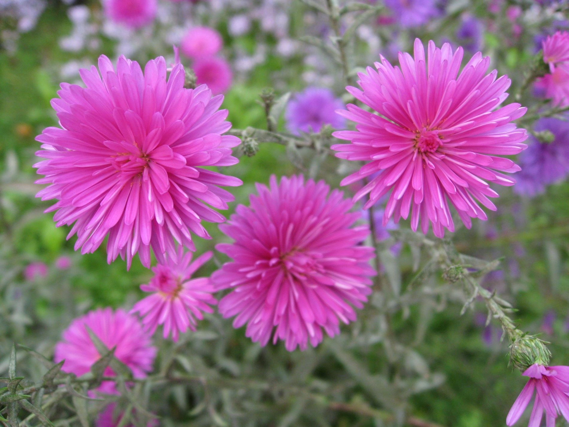 China Aster Flower Images