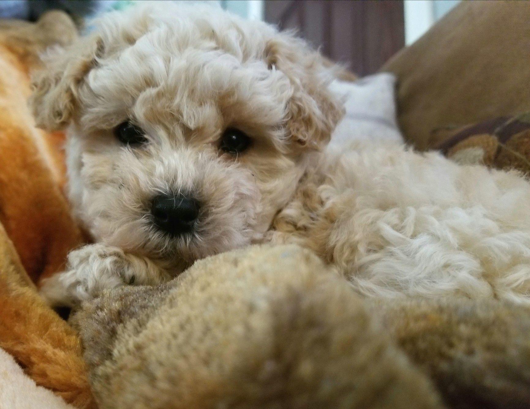 Maltipoo Puppy 2018 Johnsonsjewels Webs Com Maltipoo Puppies In Va