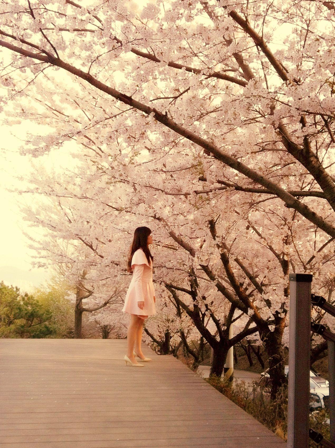 Cherry Blossom Busan Korea South Korea Travel South Korea Korea Travel