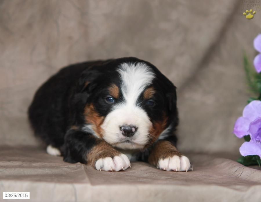 Bernese Mountain Dog Puppy For Sale In Pennsylvania Mountain Dogs Dogs Puppies