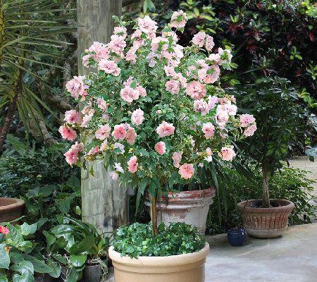 Superbe Cottage Farms Sugar Tip Rose Of Sharon Patio Tree   M46298 U2014 QVC.com