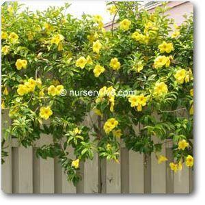 Allamanda অ্যালামন্ডা Ghonta ঘন্টা ফুল Flower