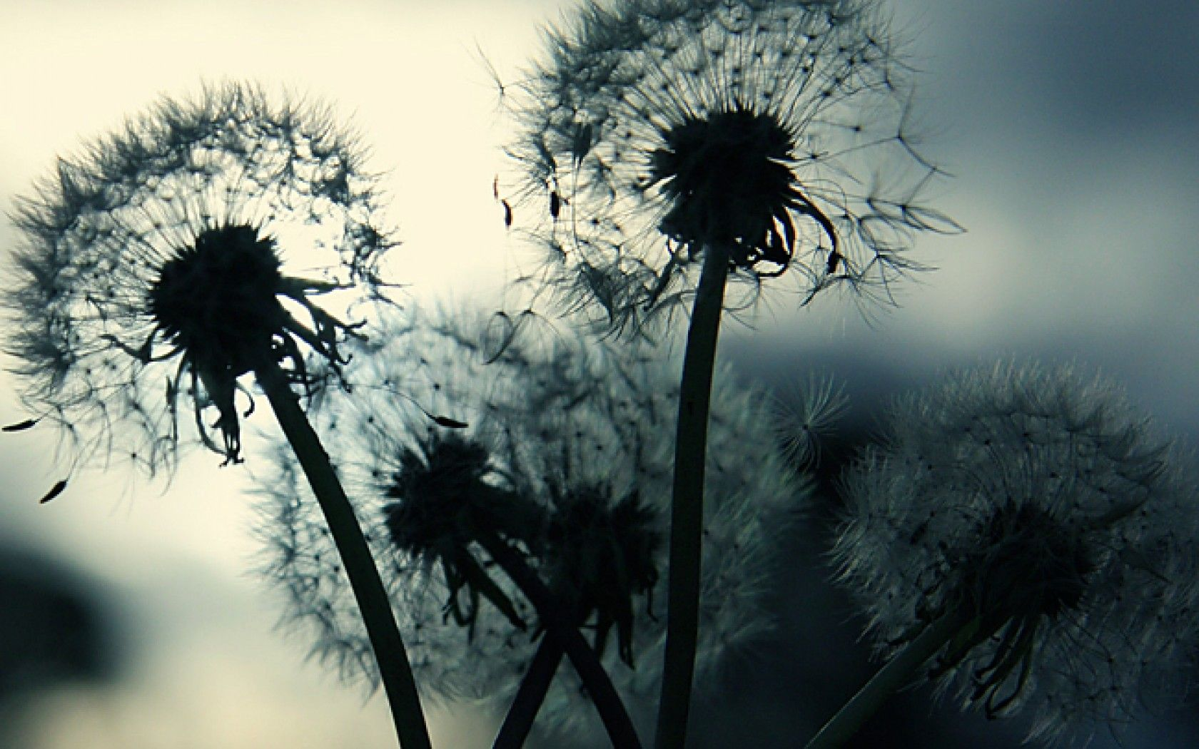 Black and white dandelion wallpaper interior ideas pinterest black and white dandelion wallpaper mightylinksfo