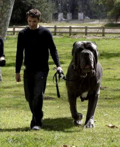 Largest Dogs In The World Page 5 Of 10 Better Find English Mastiff Big Dogs Large Dog Breeds