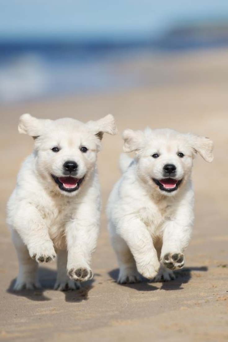 Two Happy Puppies Running On A Beach Goldenretriever In 2020 Cute Puppies Golden Retriever Dogs Golden Retriever Golden Retriever