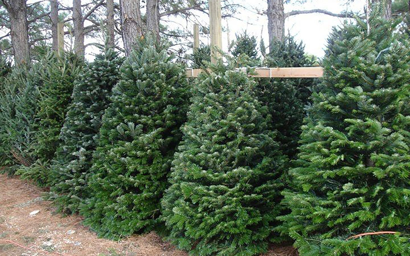 30 Christmas Tree Farms to Visit for the Perfect Winter ...