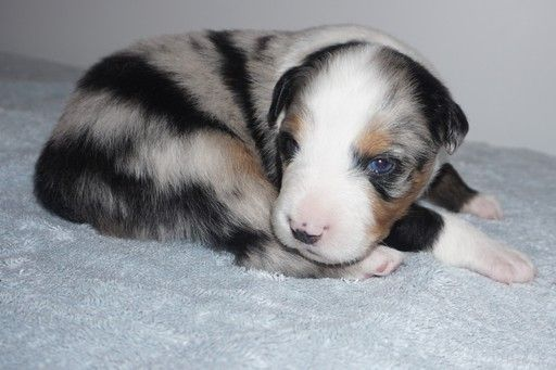 Litter Of 8 Australian Shepherd Puppies For Sale In Keokuk Ia