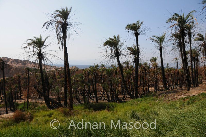 """The 70 Palm Trees of Elim in Exodus located at Maqna Saudi Arabia:  He said, """"If you will listen carefully to the voice of the Lord your God, and do what is right in his sight, and give heed to his commandments and keep all his statutes, I will not bring upon you any of the diseases that I brought upon the Egyptians; for I am the Lord who heals you."""" Then they came to Elim, where there were twelve springs of water and seventy palm trees; and they camped there by the water. -Exodus…"""