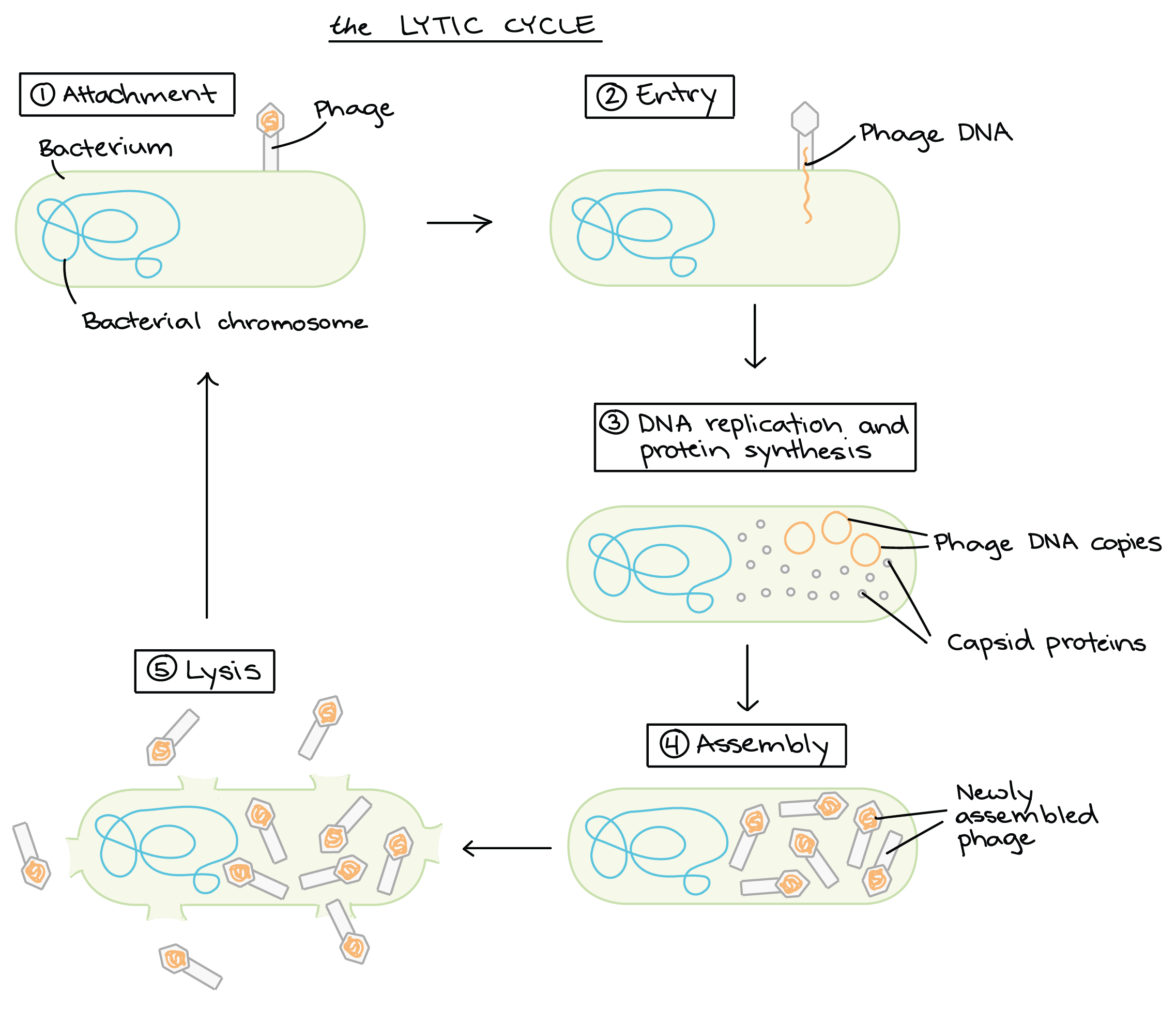 small resolution of bacteriophages viruses viruses biology khan academy