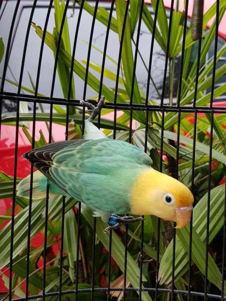 Jenis Lovebird Termahal : jenis, lovebird, termahal, Lovebird-termahal-biola-parblue, Binatang,, Burung, Cantik,