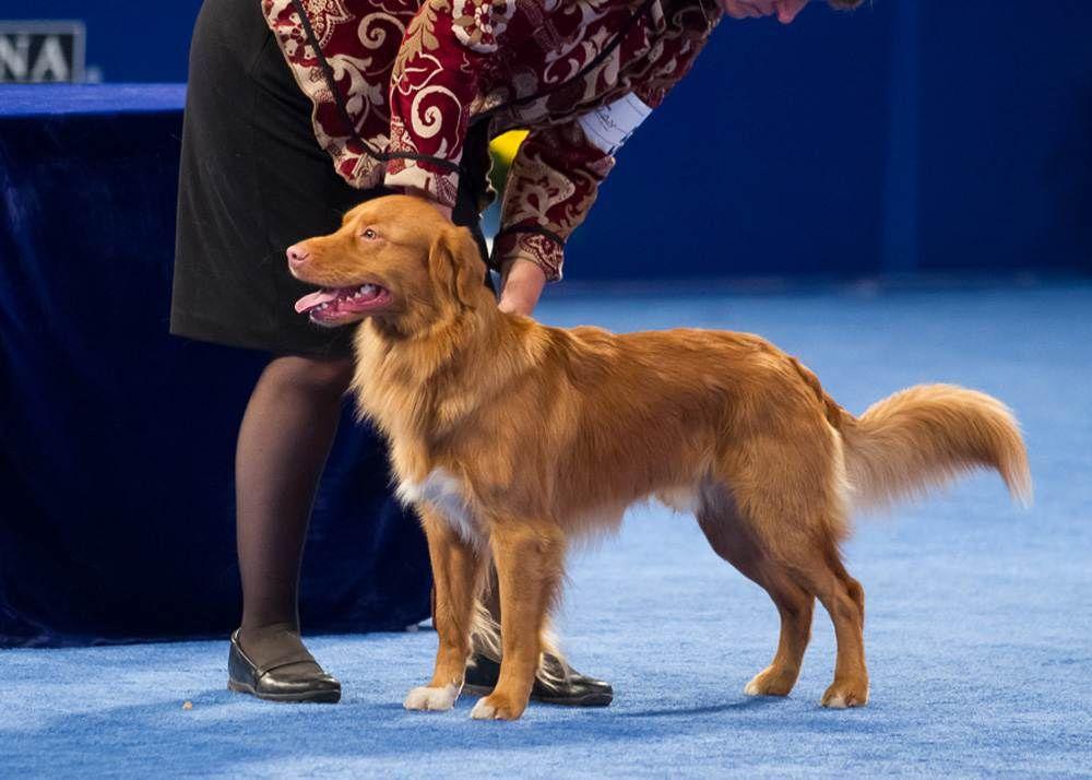Homepage National Dog Show Dog Show Nova Scotia Duck Tolling