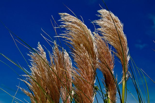 13 best Drought Tolerant/Waterwise Ornamental Grasses ... |Pampas Grassland Lizards