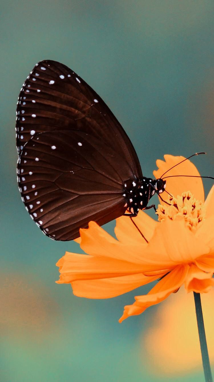 Pin by Nicky👑 ️ on Wallpapers | Black butterfly, Iphone ...