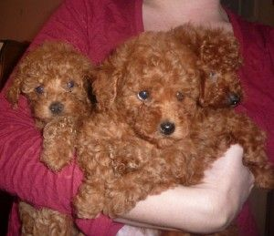 Dark Red Maltipoo Puppies Sale Cute Baby Animals Maltipoo