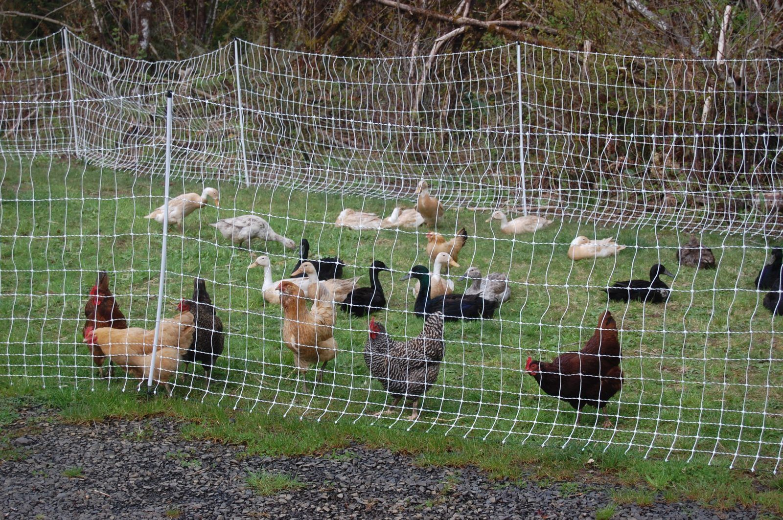 Raising Ducks and Duck Eggs | Raising ducks, Duck eggs ...