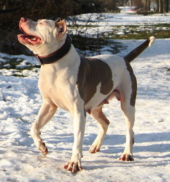 unusual pitbulls | | XXL PITBULLS | PITBULLS IMPORT USA | PITBULL PUPPIES | PITBULLS ...