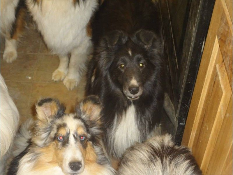 Bring Piper Home Http Www Piperslegacy Org Sheltie Dogs Animals