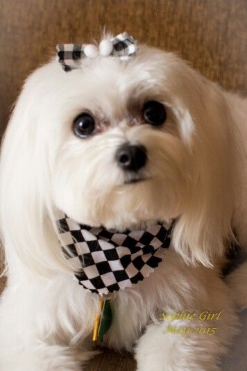 17 Month Old Sophie Is A Full Blooded Maltese Maltese Dogs