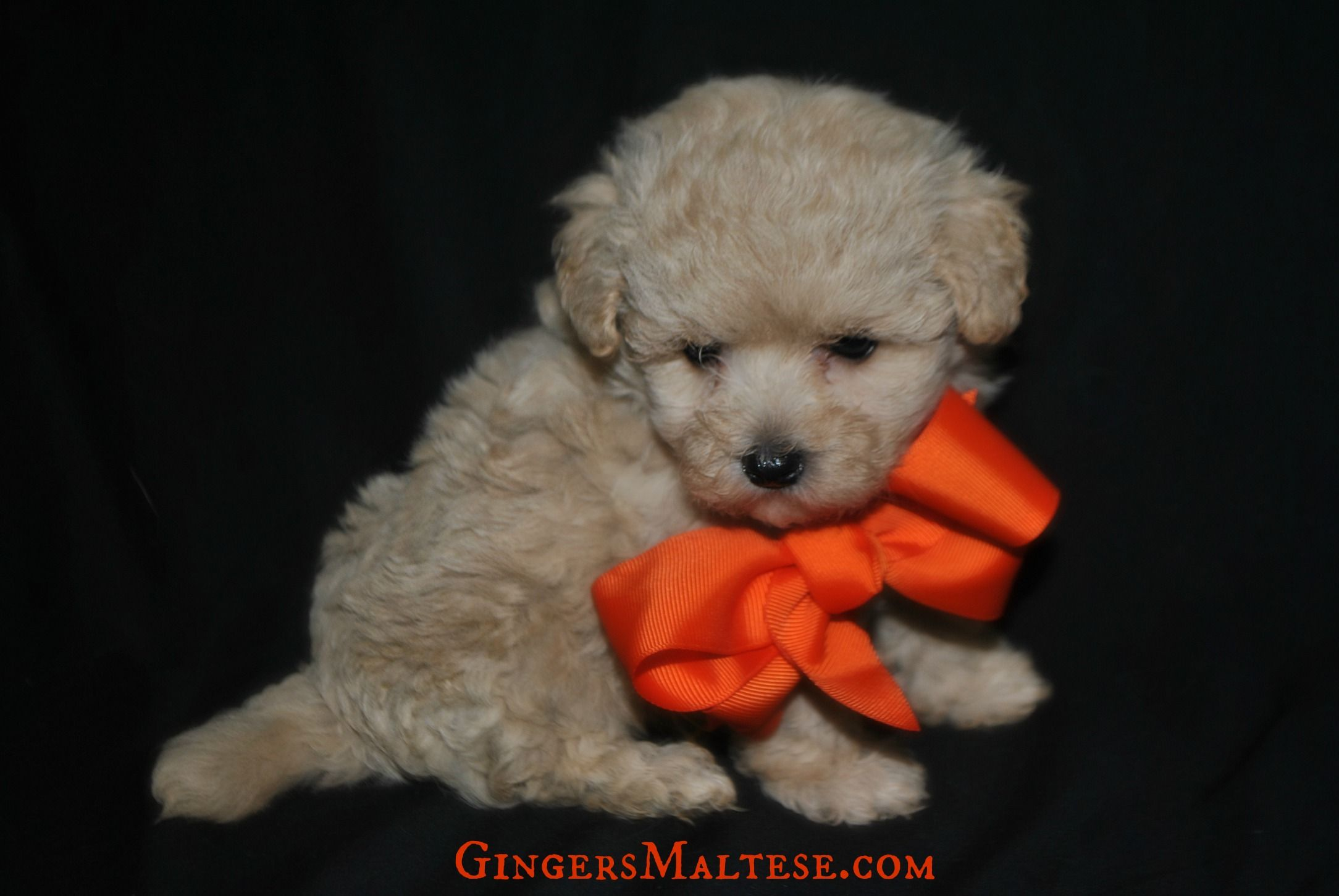 Maltipoo Puppies For Sale Near Raleigh Nc Maltepoo Puppies For Sale