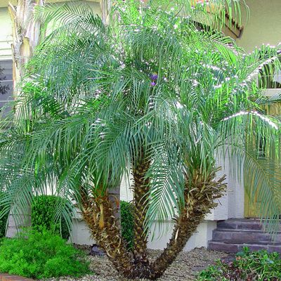 Pygmy Date Palms   Phoenix Roebelenii Is A Small To Medium Sized,  Slow Growing Slender Tree Growing To 2u20133 Metres (6.6u20139.8 Ft) Tall.