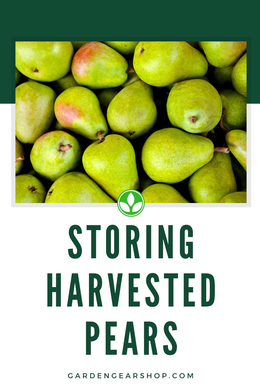 Storing Pears Pear Pear Varieties Gardening Gear
