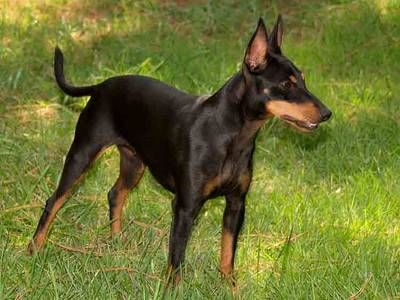 Pin By Sharon Harris On Dogs Toy Manchester Terrier Manchester Terrier Terrier Dog Breeds