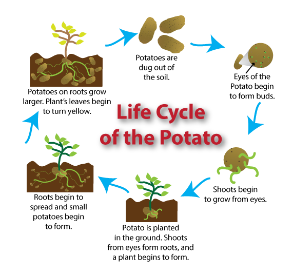 potato plant stages to know when your produce is ready! look Potato Germination Diagram potato plant stages to know when your produce is ready! look at your plant\u0027s life cycle