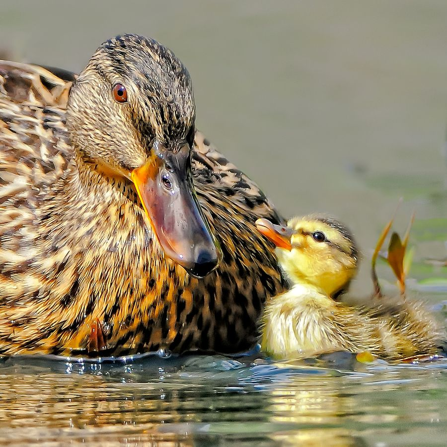 Baby Duck and Mother by Andy Nguyen, via 500px