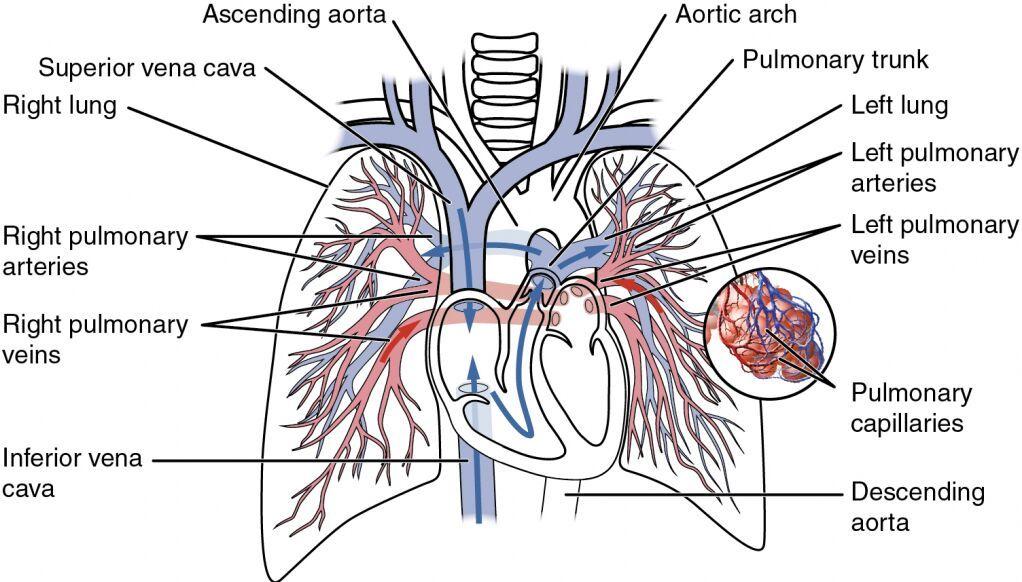 pulmonary lung artery and vein anatomy - www.anatomynote.com ...