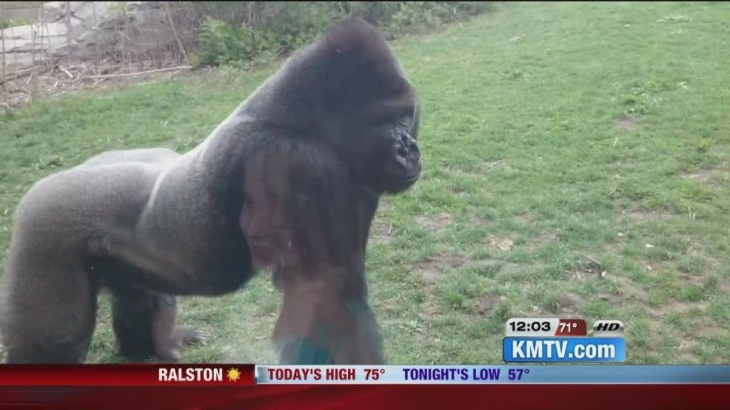 SEE IT: Angry Gorilla Cracks The Glass Wall | Gorilla ...