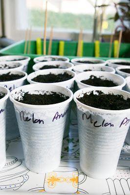 semis dans gobelets