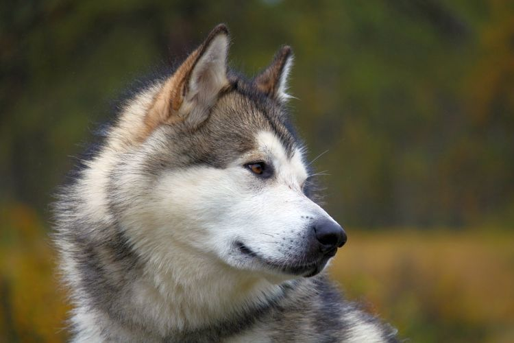 Alaskan Malamute Dog Breed Information And Pictures Malamute
