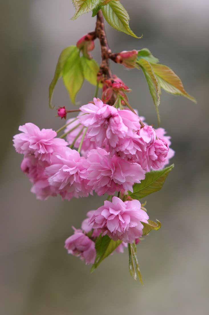 Pink Weeping Cherry Tree Weeping Cherry Tree Flowering Cherry Tree Willow Trees Garden