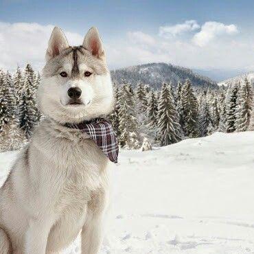 Irynabocharnikov Siberian Husky Alaska Dog Husky Dogs