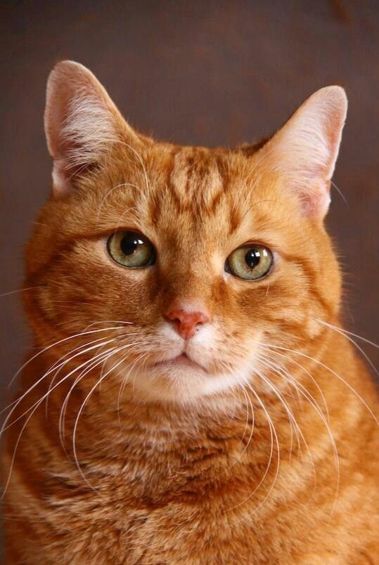 Bellissimo Tabby Cat Pretty Cats