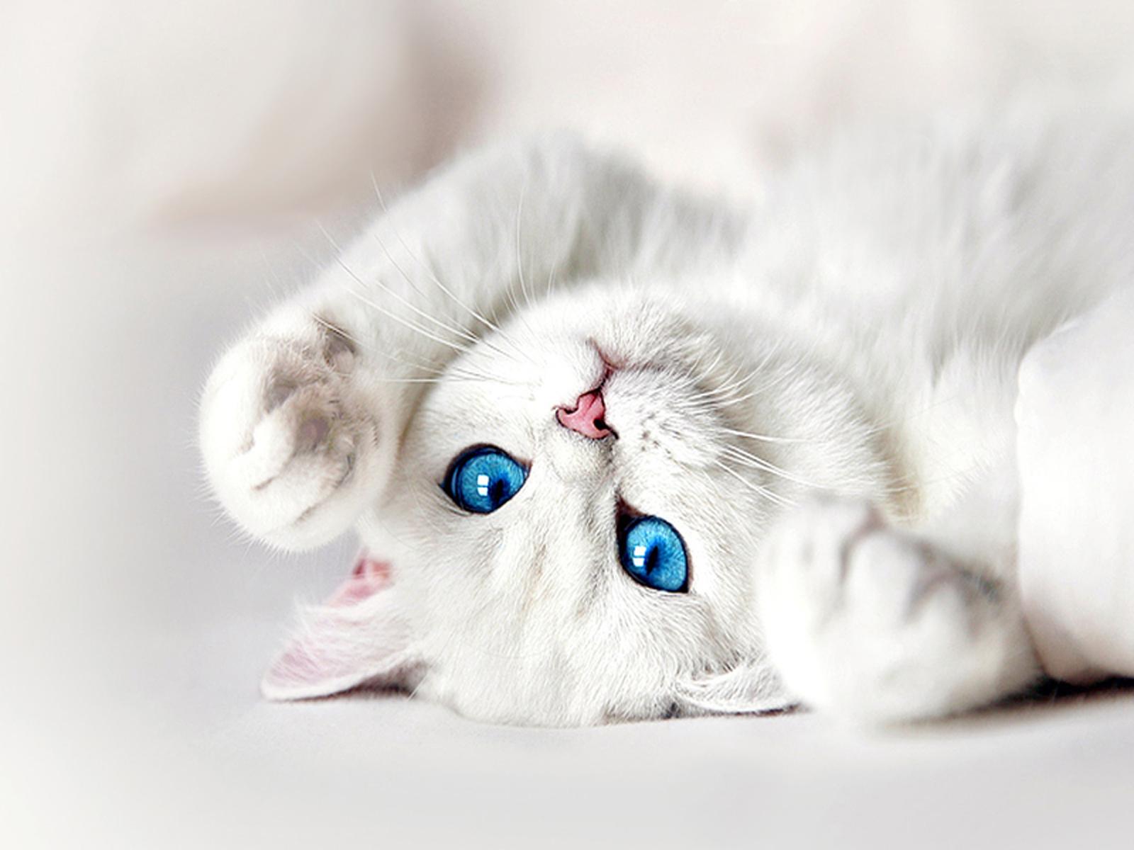 White Kitten With Blue Eyes Wallpaper White Cats White Kittens Cat With Blue Eyes