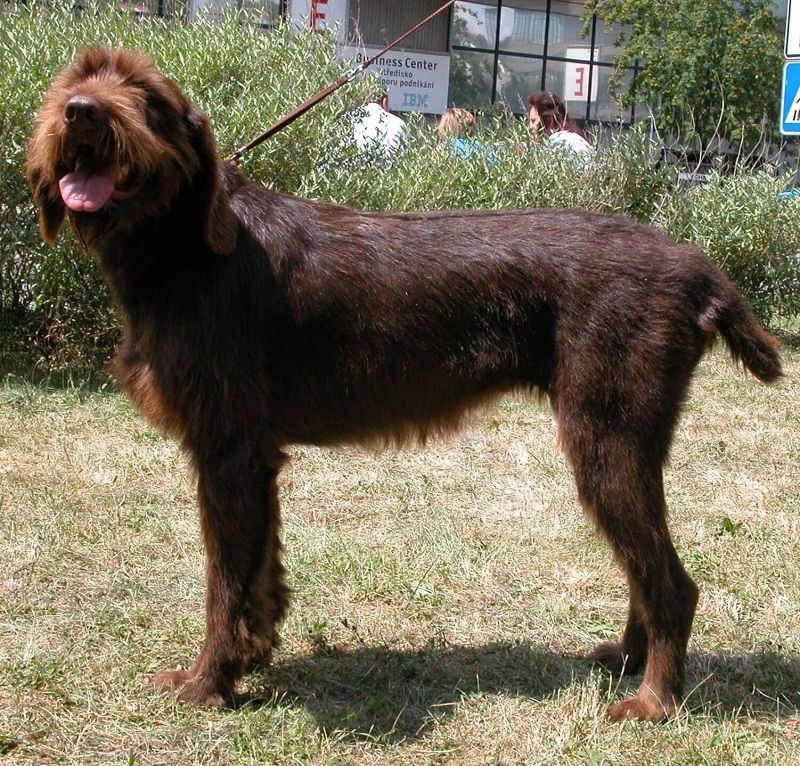 Adorable Pudelpointer Puppies For Sale Mn In 2020 Dog Breeds Dogs Puppies