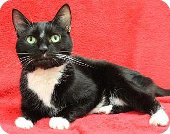 Blackwood Nj Domestic Shorthair Meet Reese A Cat For Adoption Http Www Adoptapet Com Pet 14917579 Blackwood New Jerse Cat Adoption Kitten Adoption Pets