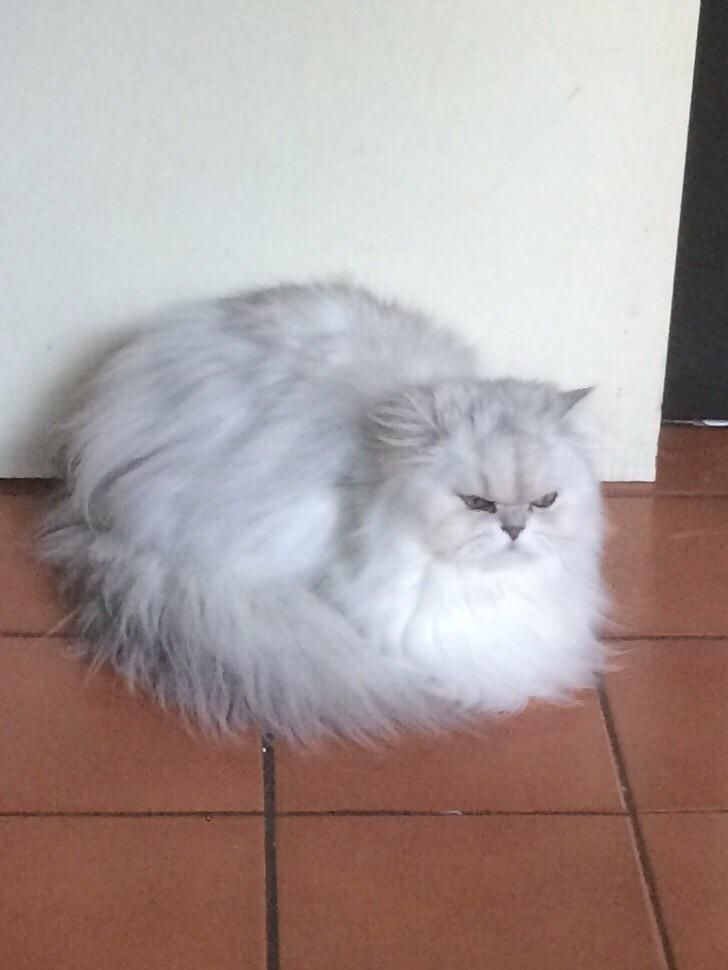 An Angry Cotton Ball By Therealturbo12 What You Think About Pretty Cats Cat Expressions Beautiful Cats
